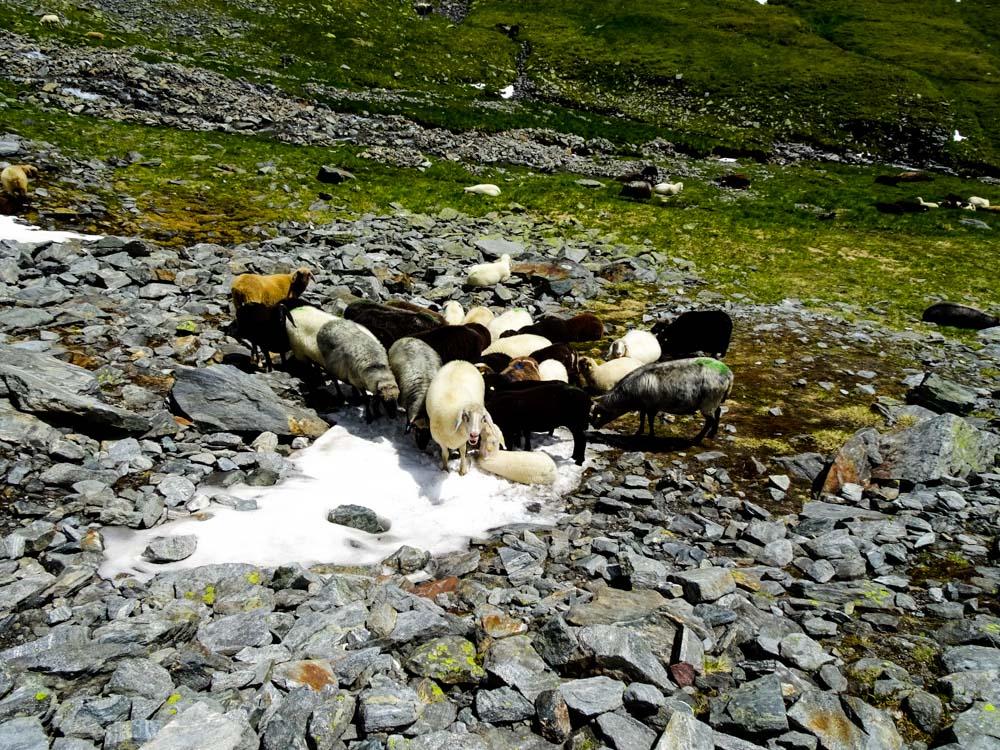 Schafe sammeln sich bei den letzten Schneeresten - was sie da wohl suchen?